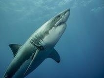 大白鲨鱼涌现 免版税库存照片