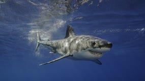 大白鲨鱼瓜达卢佩河墨西哥 免版税库存照片
