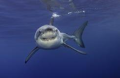 大白鲨鱼瓜达卢佩河墨西哥 库存照片