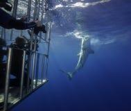 大白鲨鱼瓜达卢佩河墨西哥 免版税库存图片
