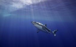 大白鲨鱼瓜达卢佩河墨西哥 图库摄影
