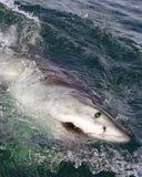 大白鲨鱼表面化 免版税图库摄影