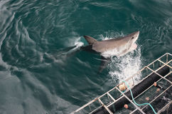 大白鲨鱼跳 免版税库存照片