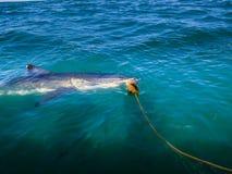 大白鲨鱼(噬人鲨属carcharias)盘旋轻潜水员鲨鱼笼子在离南非的海岸的附近 免版税库存照片