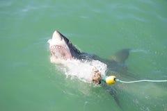 大白鲨鱼攻击的诱饵2 库存图片