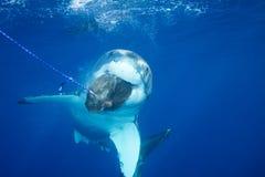 大白鲨鱼 图库摄影