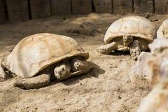 大的乌龟家庭 库存照片