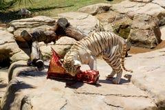 大的孟加拉吃他的牺牲者老虎 免版税图库摄影