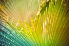 大的棕榈叶 免版税图库摄影