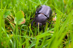 大的甲虫 免版税库存图片