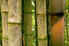 大的竹子 免版税库存照片