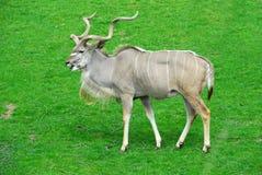 大的羚羊 免版税库存图片