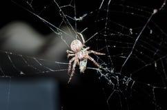 大的蜘蛛捉住了飞行并且吃它 免版税库存照片