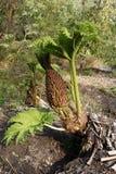 大的Gunnera植物在春天 图库摄影