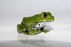 大眼雨蛙(14) leptopelis vermiculatus,焦点在 免版税库存照片
