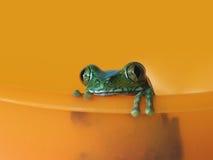 大眼雨蛙(5) leptopelis vermiculatus 库存图片