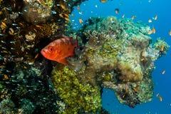 大眼鲷和在礁石的热带鱼 库存照片