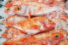 大眼鲷在显示的海洋栖息处的图象在超级市场 新鲜谁 免版税库存图片
