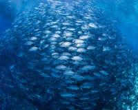 大眼鲷大型食用鱼 库存照片