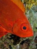 大眼鲷新月形hamrur priacanthus尾标 库存图片