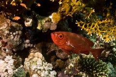 大眼鲷新月形hamrur priacanthus尾标 库存照片