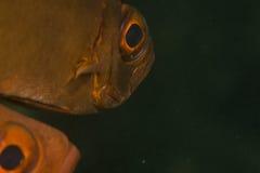 大眼鲷新月形hamrur priacanthus尾标 免版税库存照片