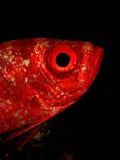 大眼鲷月牙尾标 库存照片