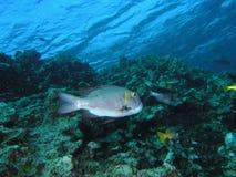 大眼鲷皇帝礁石 库存图片