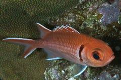 大眼鲷squirefish 免版税库存图片