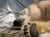大睡眠北极熊 库存图片