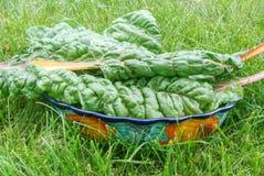 大碗健康绿色瑞士牛皮菜离开 库存图片