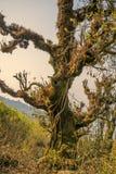 大神仙的老树 库存图片
