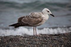 大空白海鸥 免版税库存图片