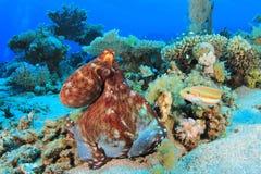 大章鱼红色 图库摄影