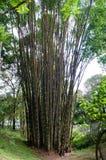 大竹密林森林 图库摄影