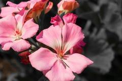 大竺葵在夏天 库存照片