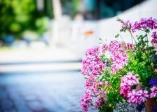 大竺葵在街道上的花床上开花在城市的晴朗的被弄脏的背景 免版税库存照片