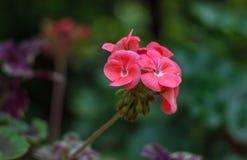 大竺葵明亮的桃红色红色开花特写镜头在茎的 图库摄影