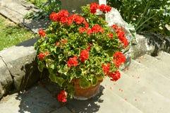 大竺葵明亮的红色 库存图片