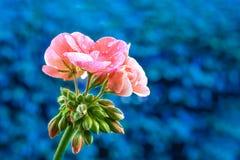 大竺葵桃红色- Pelargonien -与雨珠-蓝色背景 免版税库存图片