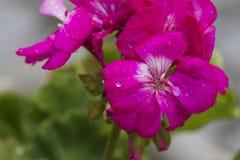 大竺葵湿在雨以后在庭院里 免版税库存图片