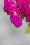 大竺葵湿在雨以后在庭院里 免版税库存照片
