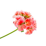 大竺葵粉红色 库存照片