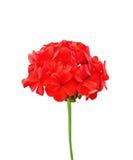 大竺葵红色 库存图片
