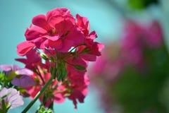 大竺葵花在庭院里上升了 免版税库存照片