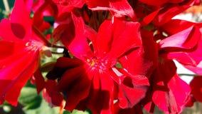 从大竺葵花的背景 库存图片