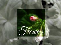 大竺葵花,室内植物 免版税库存图片