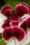 大竺葵被装饰的阿兹台克人 免版税库存图片