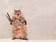 大粗野的猫是非常滑稽的身分 groomer 15 库存图片