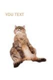 大粗野的猫是非常滑稽的开会 第11 免版税库存照片